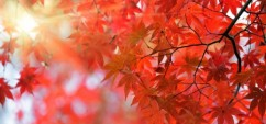 12946268 - japanese red maple tree background with sunlight, kyoto