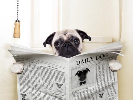 31444406 - pug dog sitting on toilet and reading magazine having a break