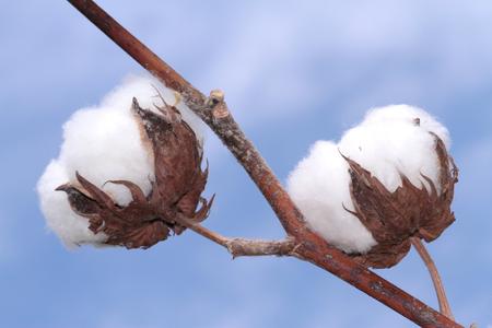 37876142 - cotton plant.