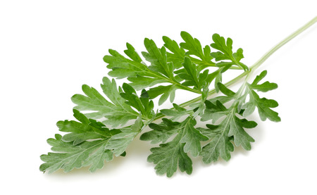 64447669 - artemisia sprig isolated on white