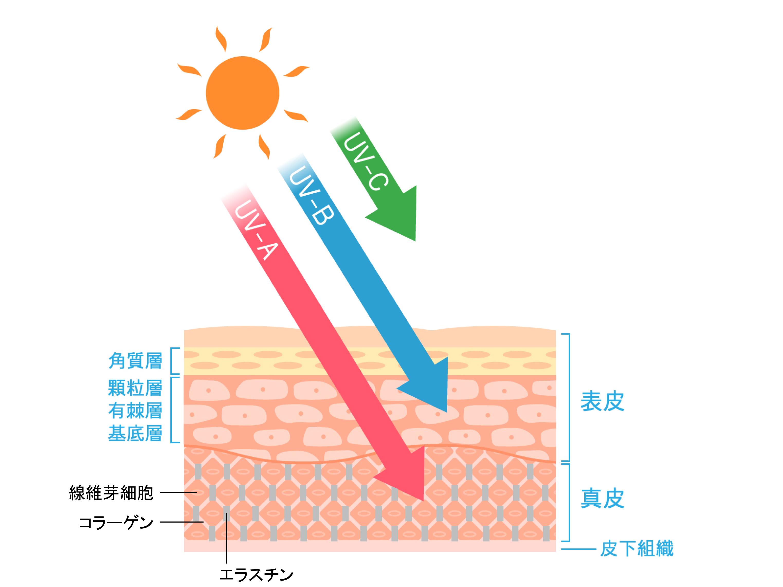皮膚断面図3